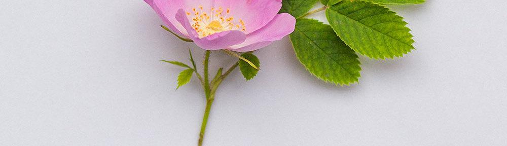 части цветка шиповника